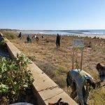 Read more about the article Segona jornada de voluntariat per protegir la zona dunar