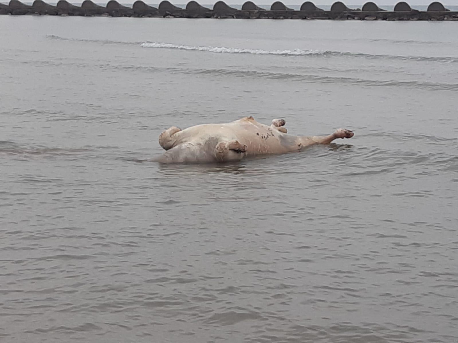 Read more about the article Apareix a la platja de Cunit un exemplar boví en descomposició